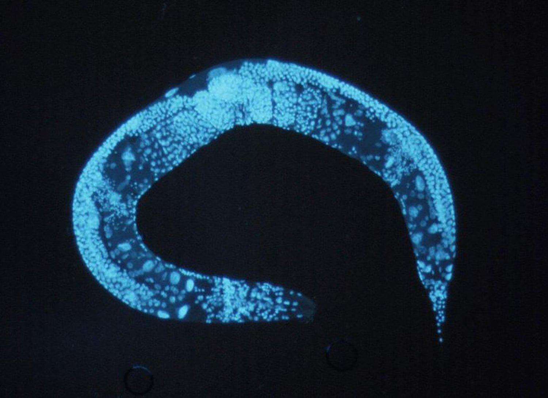 C. elegans blue