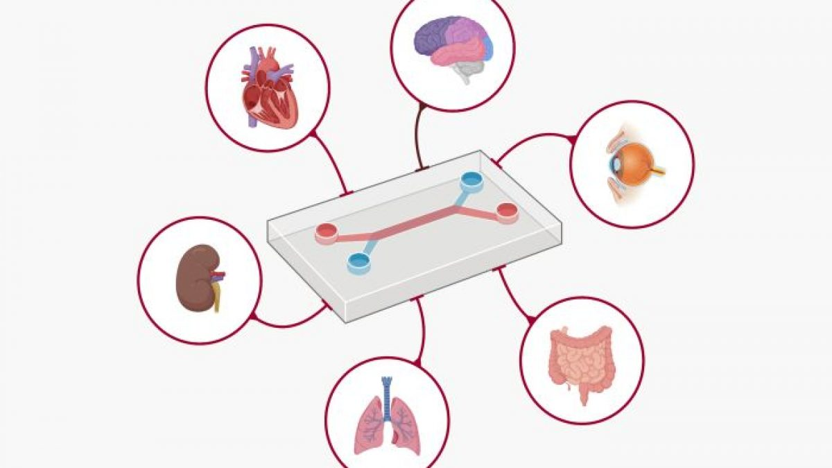 Organ-on-a-Chip: microfluidic technology that can revolutionize the  pharmaceutical industry