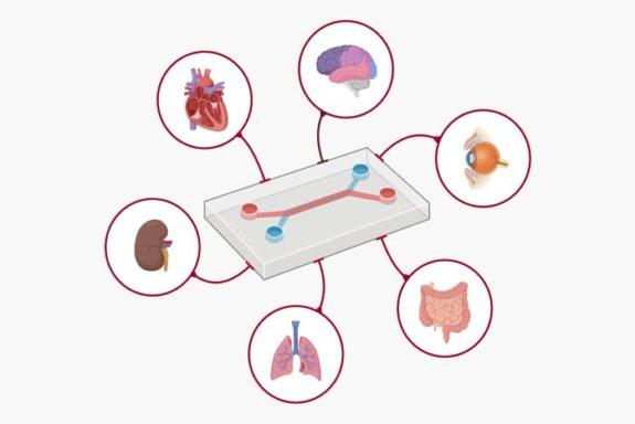 Microfluidic organ on a chip
