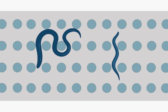 microfluidic chip for c elegans research