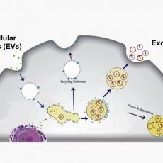 Exosome schematic
