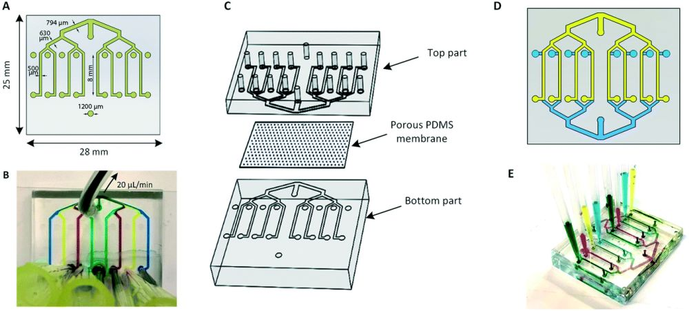 blood-brain barrier microfluidic chip