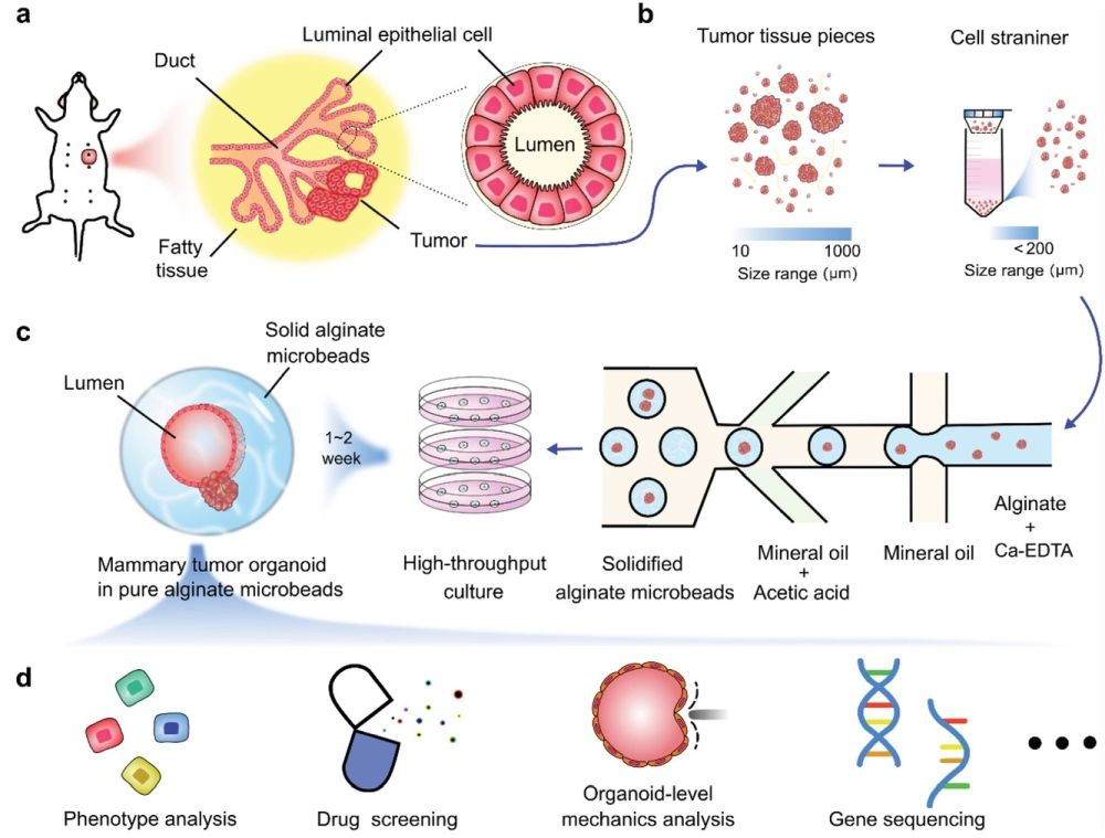 Microfluidic droplets for organoid culture