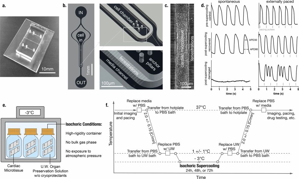 microfluidic chip for supercooled preservation and revival of human cardiac microtissues